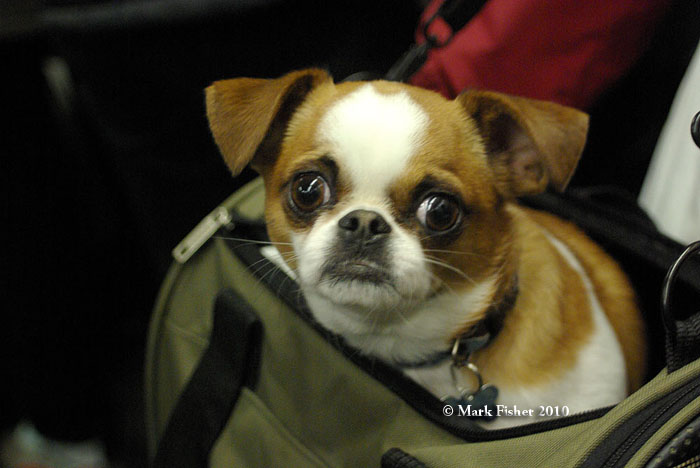 Cute dog – pekingese chihuahua mix – Mark Fisher NYC Image ...